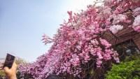 La solución china:  así los turistas no se pierden el florecer de los cerezos
