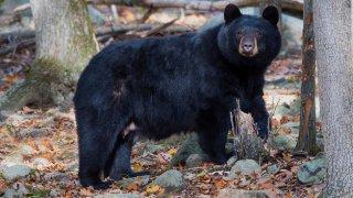 aparece oso