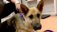 Confirmado: el primer perro de EEUU con coronavirus y síntomas de la enfermedad