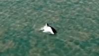 Video: enorme ballena logra escapar de río lleno de cocodrilos en Australia