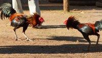 Gallo mata a su dueño con un cuchillo durante una pelea ilegal en India
