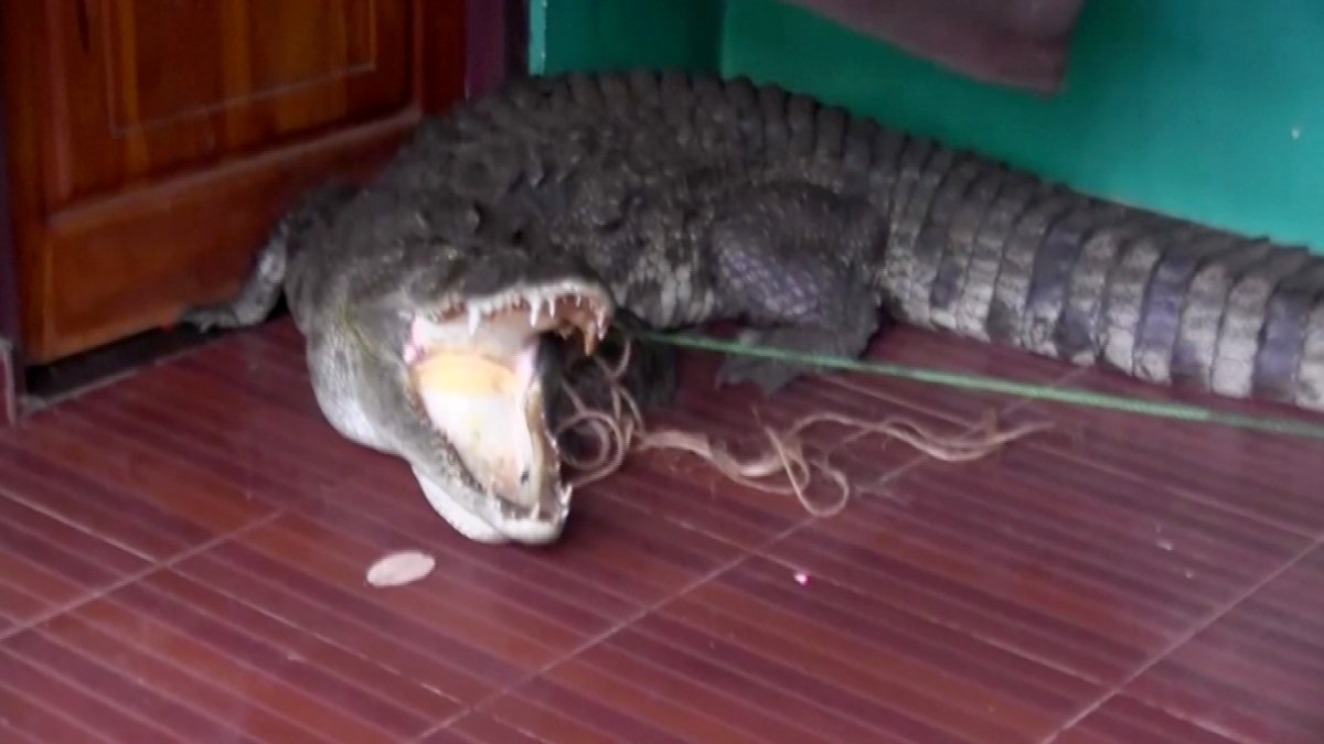 Video: Girl bumps into a huge crocodile at the door of her house in Sri Lanka