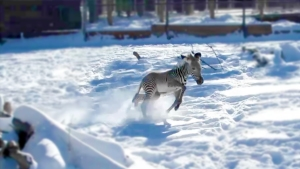Cebra bebé disfruta su primera nevada en Denver