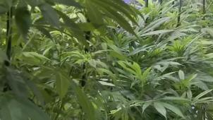 Realizan operativos contra sembradíos ilegales de marihuana