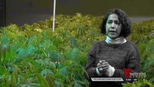 SERIE ESPECIAL La ruta del cannabis