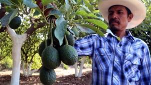 El aguacate, el narco y los productores armados