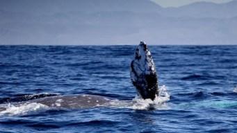 La ballena gris regresa a los santuarios mexicanos