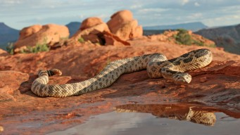 El calor del verano atrae a las serpientes de cascabel
