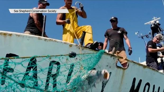[TLMD - SD] Operación Milagro V para evitar la extinción de la vaquita marina