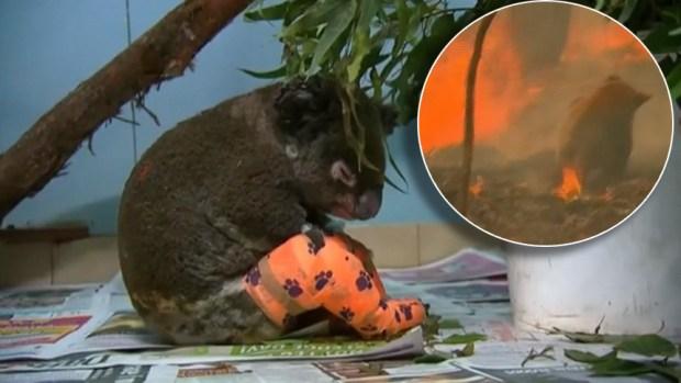 [TLMD - NATL] Viral: el destino del koala hallado entre las llamas