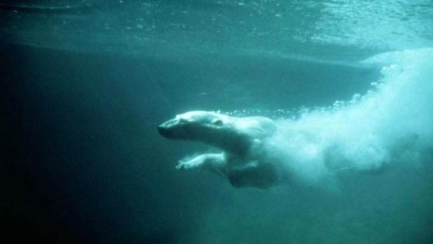 Los osos polares, amenazados por el cambio climático