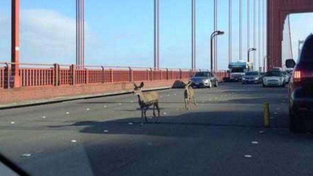 Video: ¡Asombro! Ciervos cruzan el Golden Gate