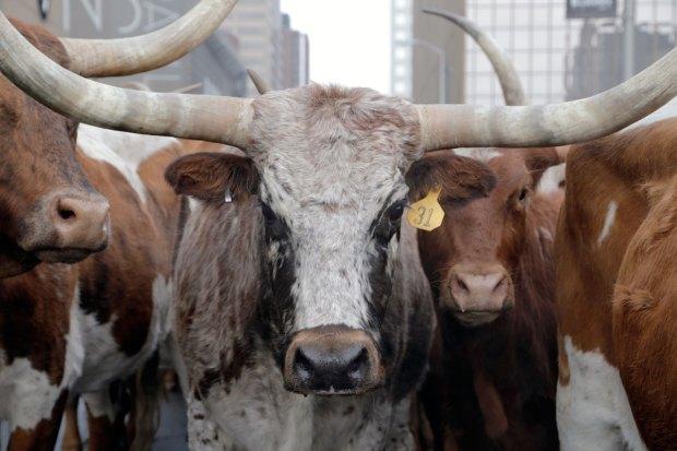 Desfile de ganado causa sensación en Denver