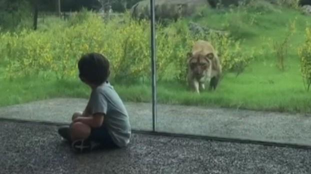 ¡Tremendo susto! Leona intenta lanzarse sobre niño en zoológico