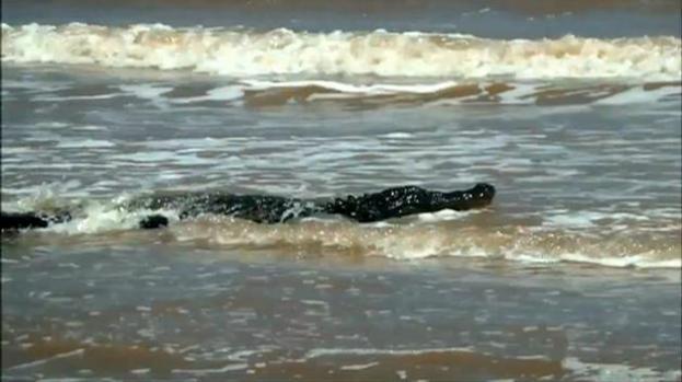 Caimán aterroriza a bañistas en playa de Texas