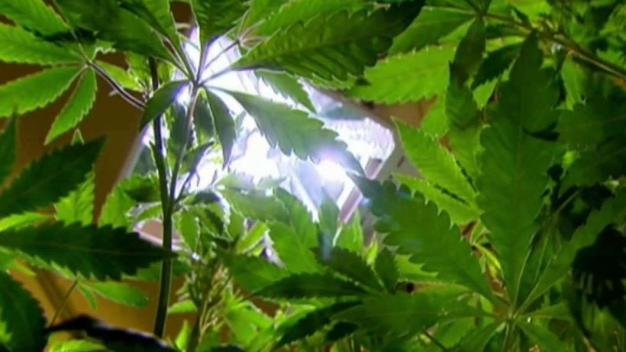 Tras las rejas por sembradío ilegal de marihuana
