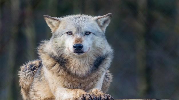 Lobos de Wolfwood visitaran Hermit Park