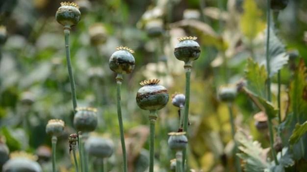 Aprueban despenalizar cultivo de amapola