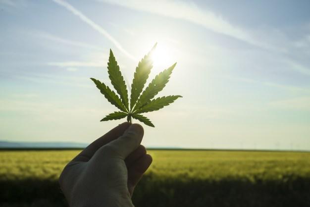 Controversia por elección de productores de marihuana