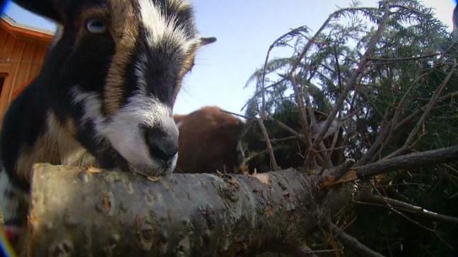 ¿No sabes cómo disponer de tu árbol de Navidad? ¡Alimenta a una cabra!