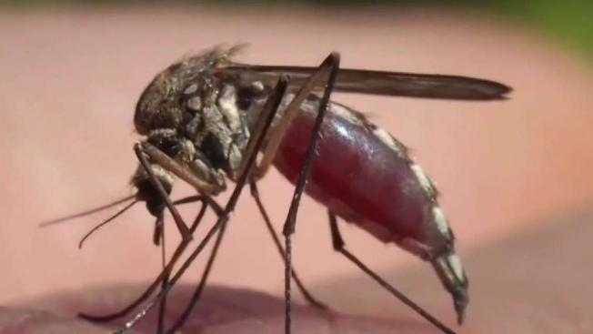 Virus del Nilo Occidental en mosquitos de Fort Collins