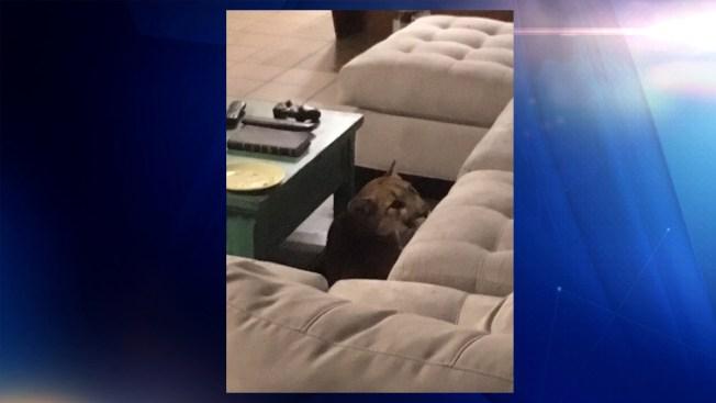 León de montaña ingresa a residencia en Boulder