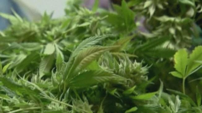 Demandan por uso de pesticidas en marihuana