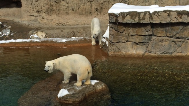 Celebran día de los osos polares en Denver