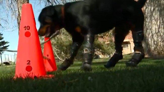 Perro recibe prótesis en las cuatro patas
