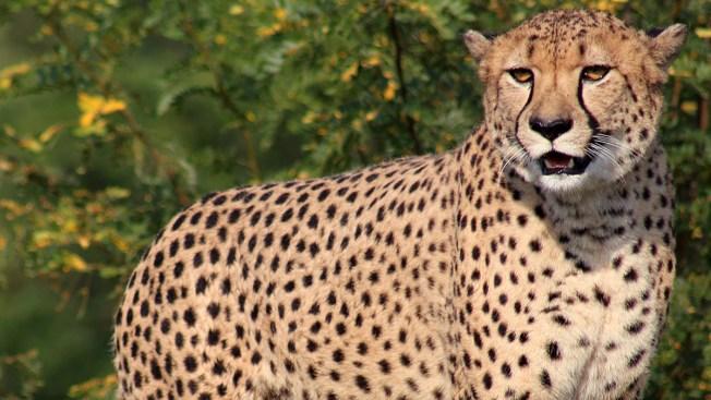 Escape de guepardo obliga a cerrar zoológico