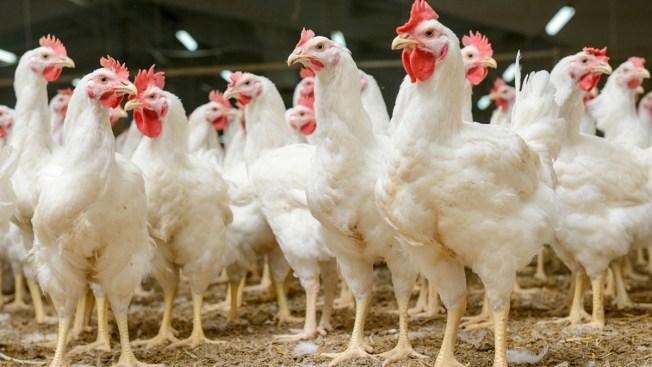 Vacuna contra gripe aviar funciona en pollos